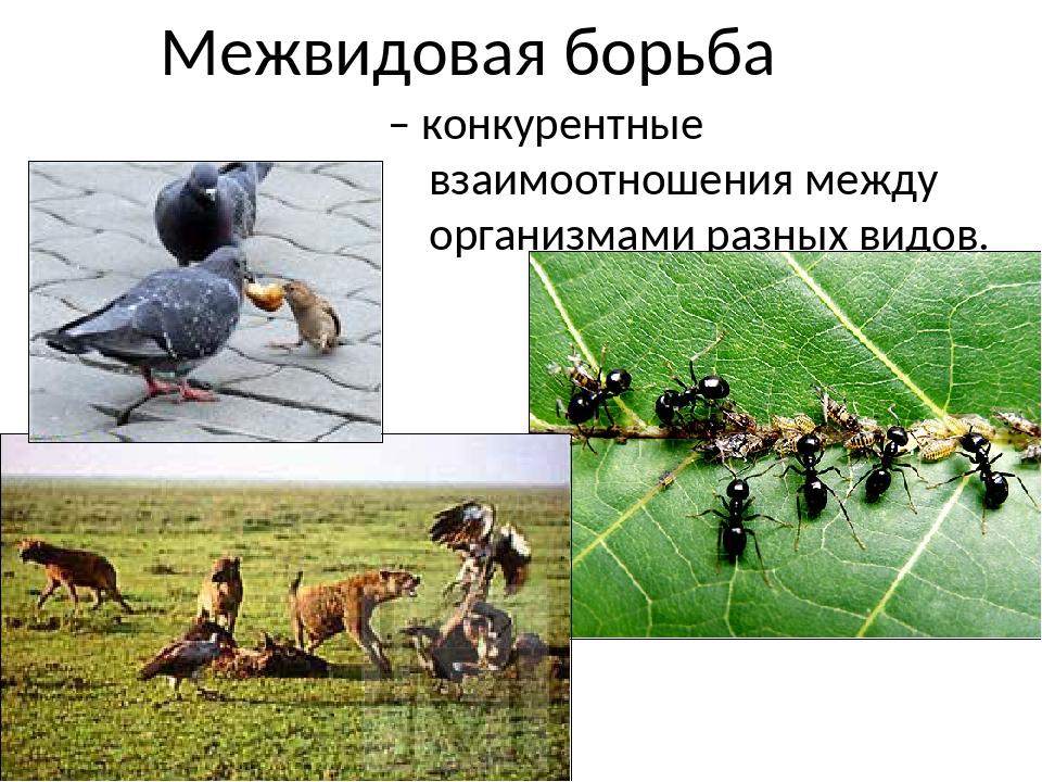 Межвидовая борьба – конкурентные взаимоотношения между организмами разных вид...