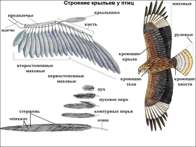 строения крыла птицы фото днем рождения поздравляю