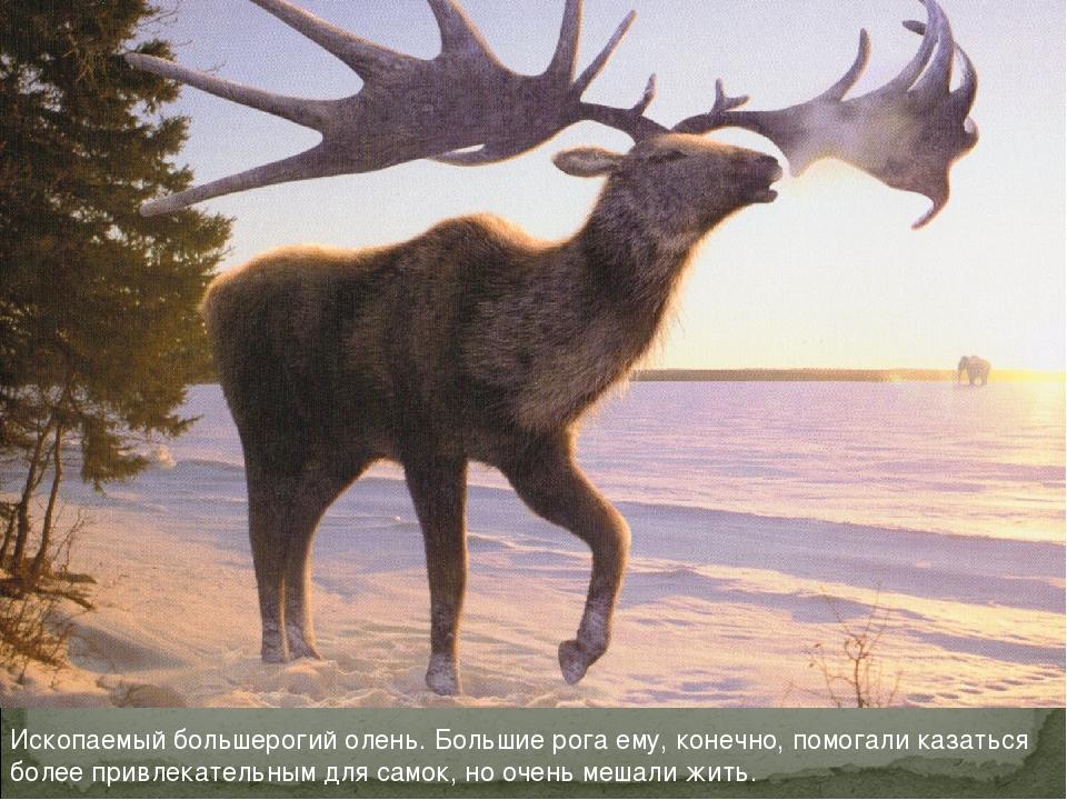 Ископаемый большерогий олень. Большие рога ему, конечно, помогали казаться бо...