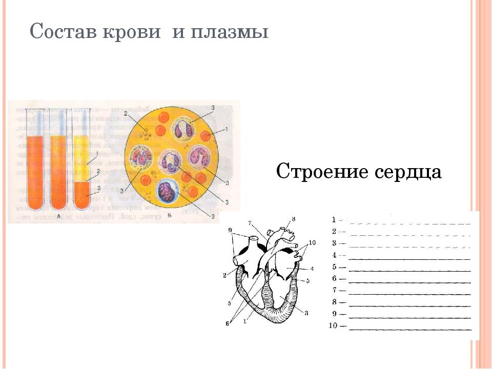 Состав крови и плазмы Строение сердца