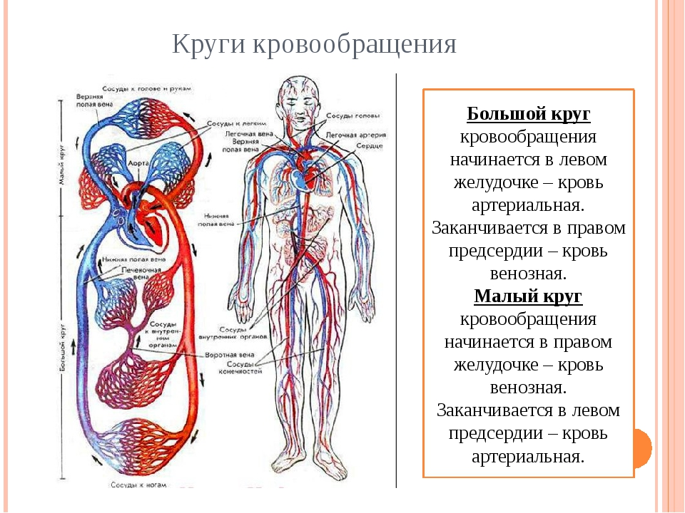 Круги кровообращения Большой круг кровообращения начинается в левом желудочке...