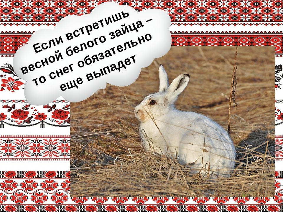 Если встретишь весной белого зайца – то снег обязательно еще выпадет
