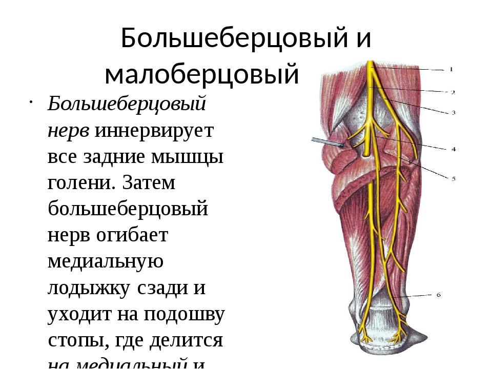 Анатомия малоберцового нерва картинки