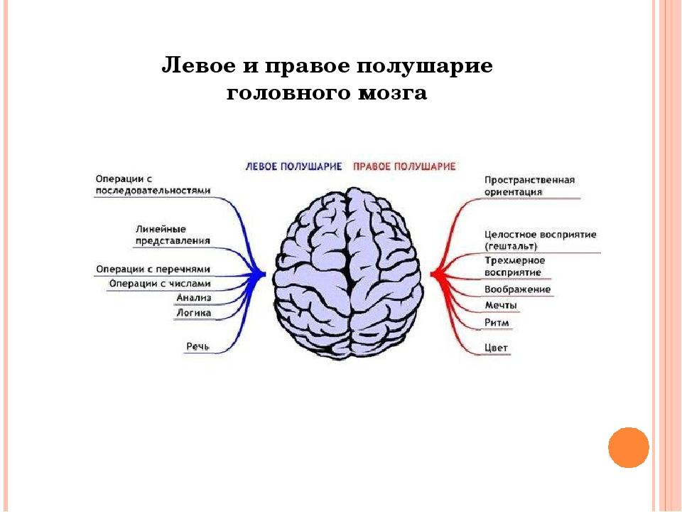 Левое и правое полушарие головного мозга