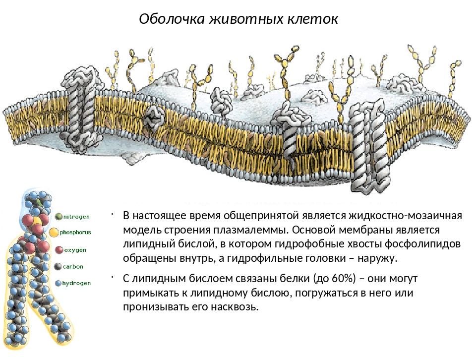 В настоящее время общепринятой является жидкостно-мозаичная модель строения п...