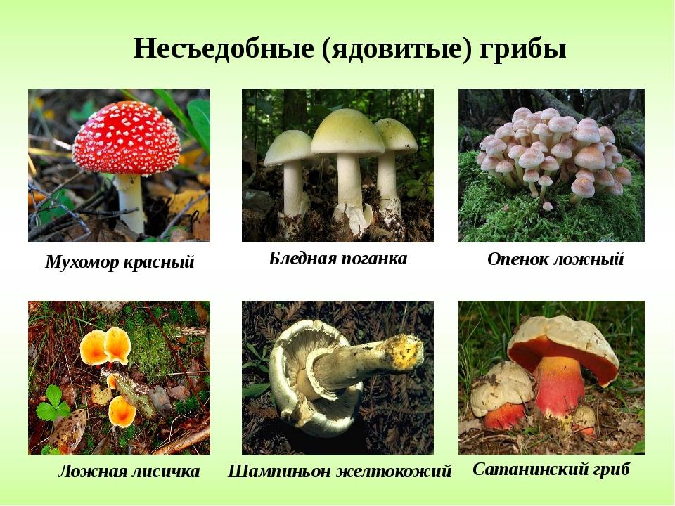 Ядовитые грибы подмосковья фото и название и описание
