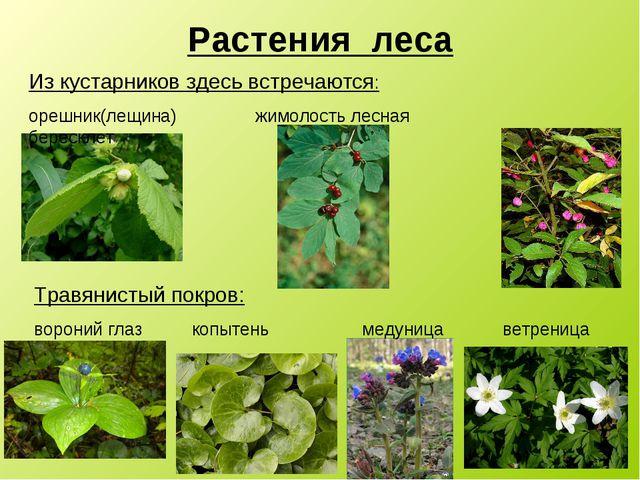 Растения леса фото и описание