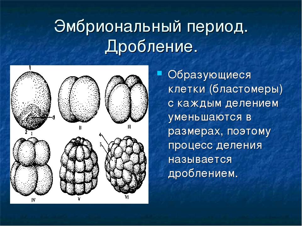 Эмбриональный период. Дробление. Образующиеся клетки (бластомеры) с каждым де...