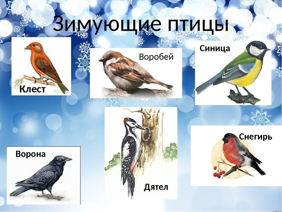 картинки воробей ворона голубь синица снегирь