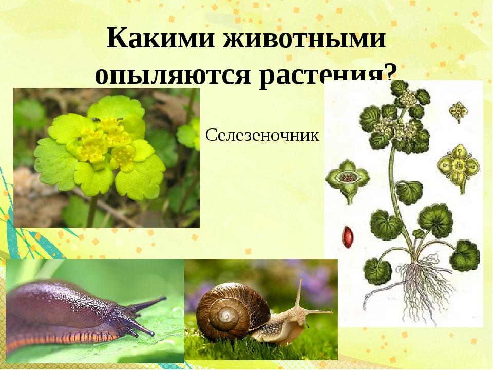 Какими животными опыляются растения? Селезеночник