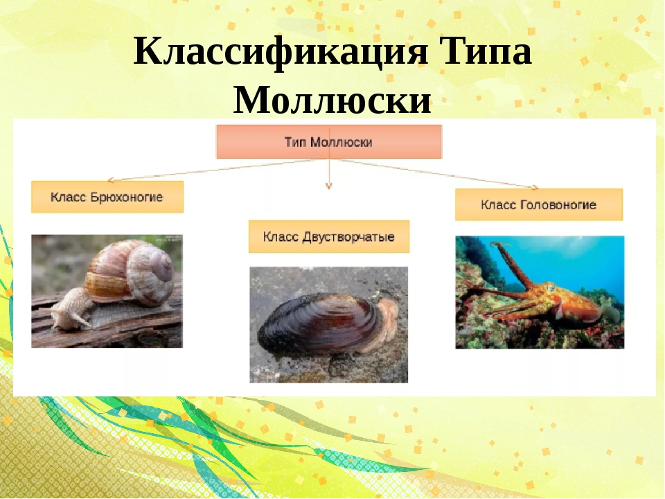 Классификация Типа Моллюски