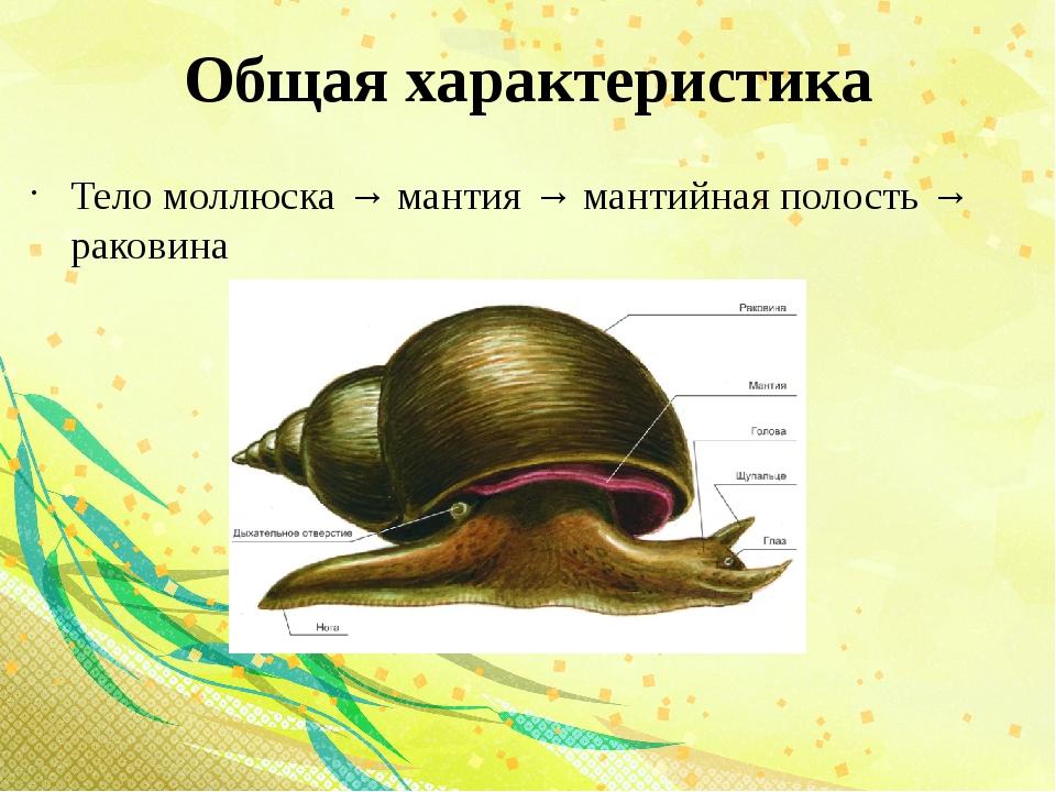 Общая характеристика Тело моллюска → мантия → мантийная полость → раковина