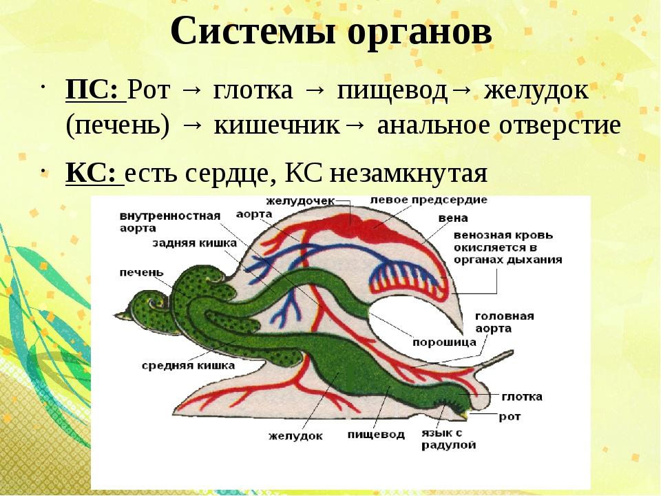 Системы органов ПС: Рот → глотка → пищевод→ желудок (печень) → кишечник→ анал...
