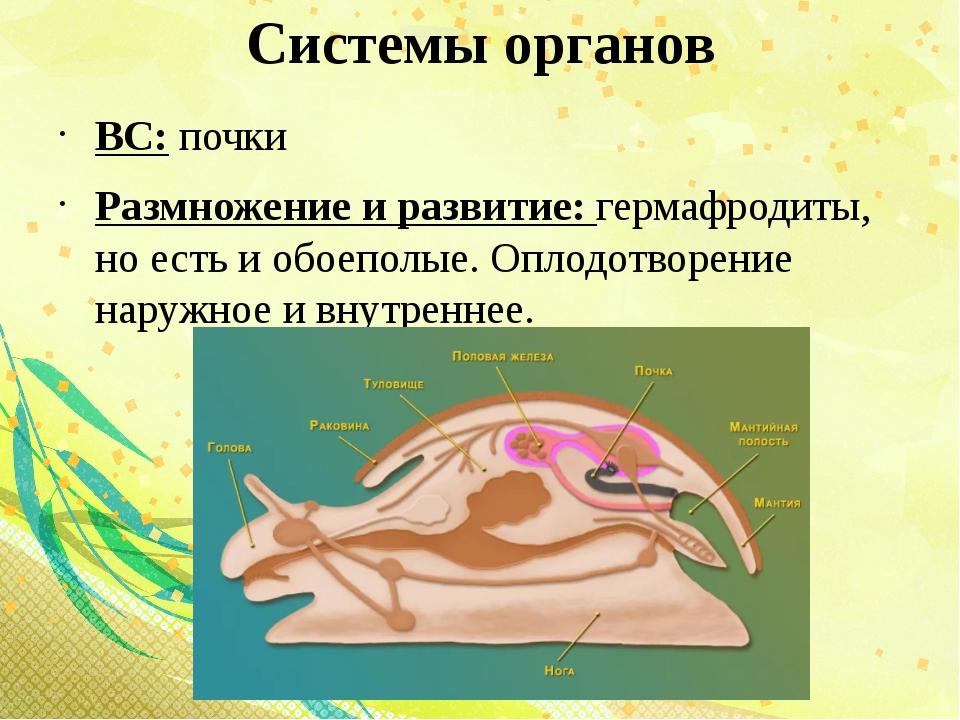Системы органов ВС: почки Размножение и развитие: гермафродиты, но есть и обо...