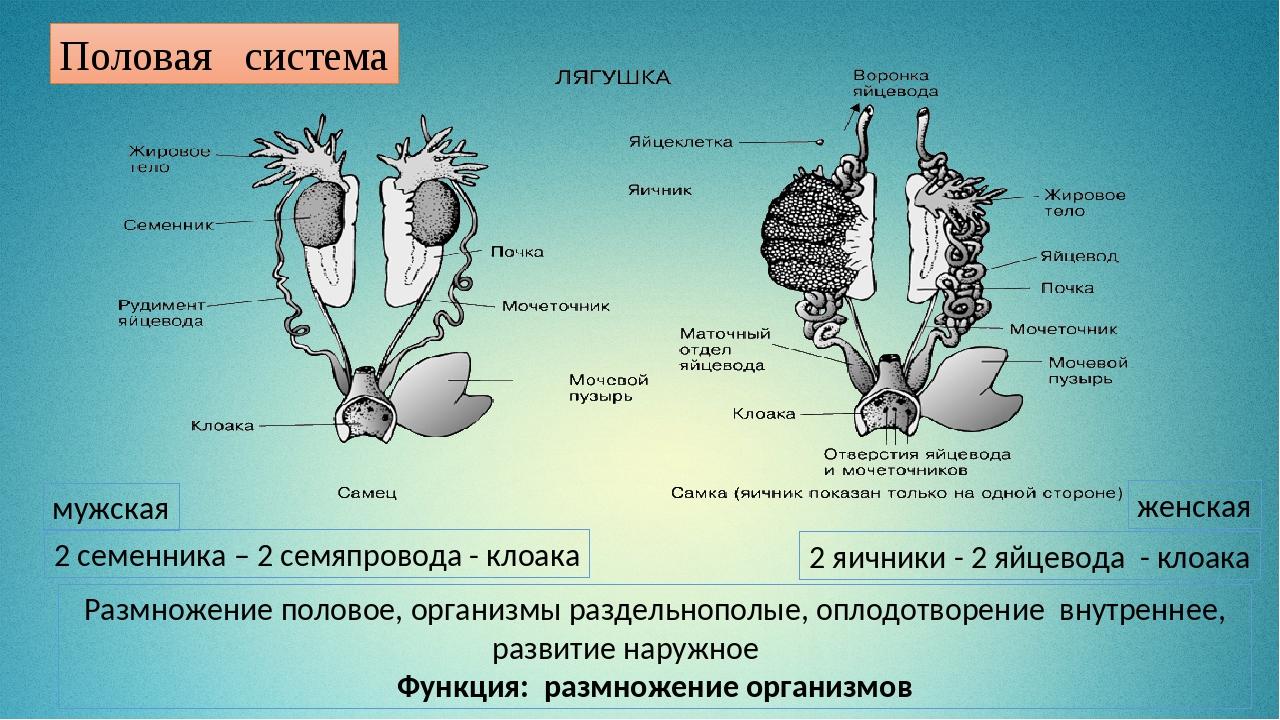 мужская женская 2 семенника – 2 семяпровода - клоака 2 яичники - 2 яйцевода -...