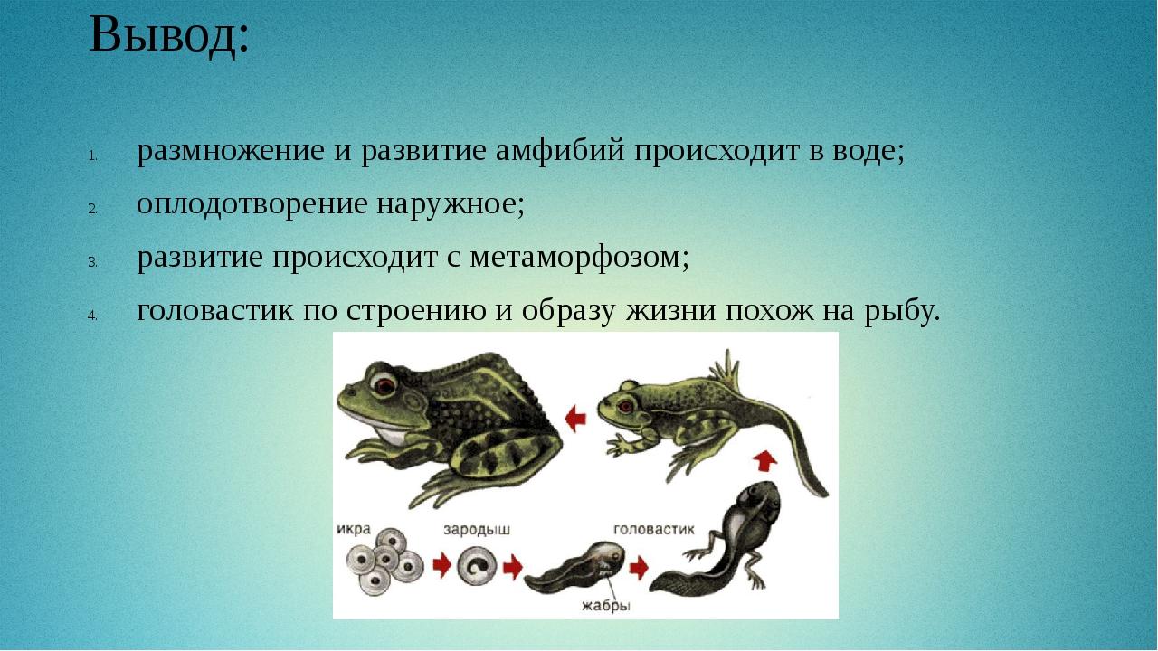Вывод: размножение и развитие амфибий происходит в воде; оплодотворение наруж...