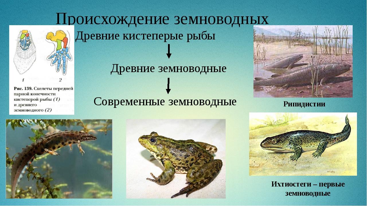 Происхождение земноводных Древние кистеперые рыбы Древние земноводные Совреме...