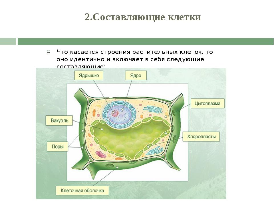 2.Составляющие клетки Что касается строения растительных клеток, то оно иден...