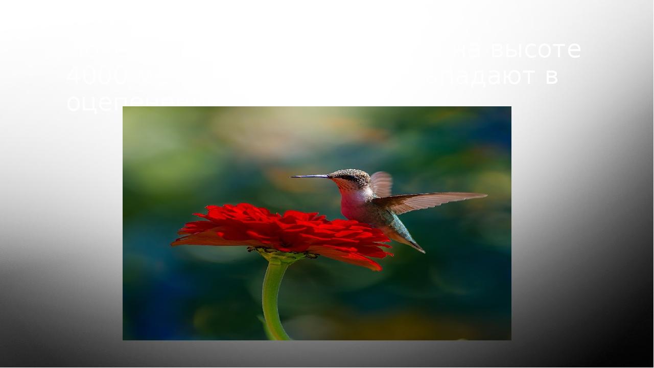 Почему колибри, обитающие на высоте 4000 метров, каждую ночь впадают в оцепен...