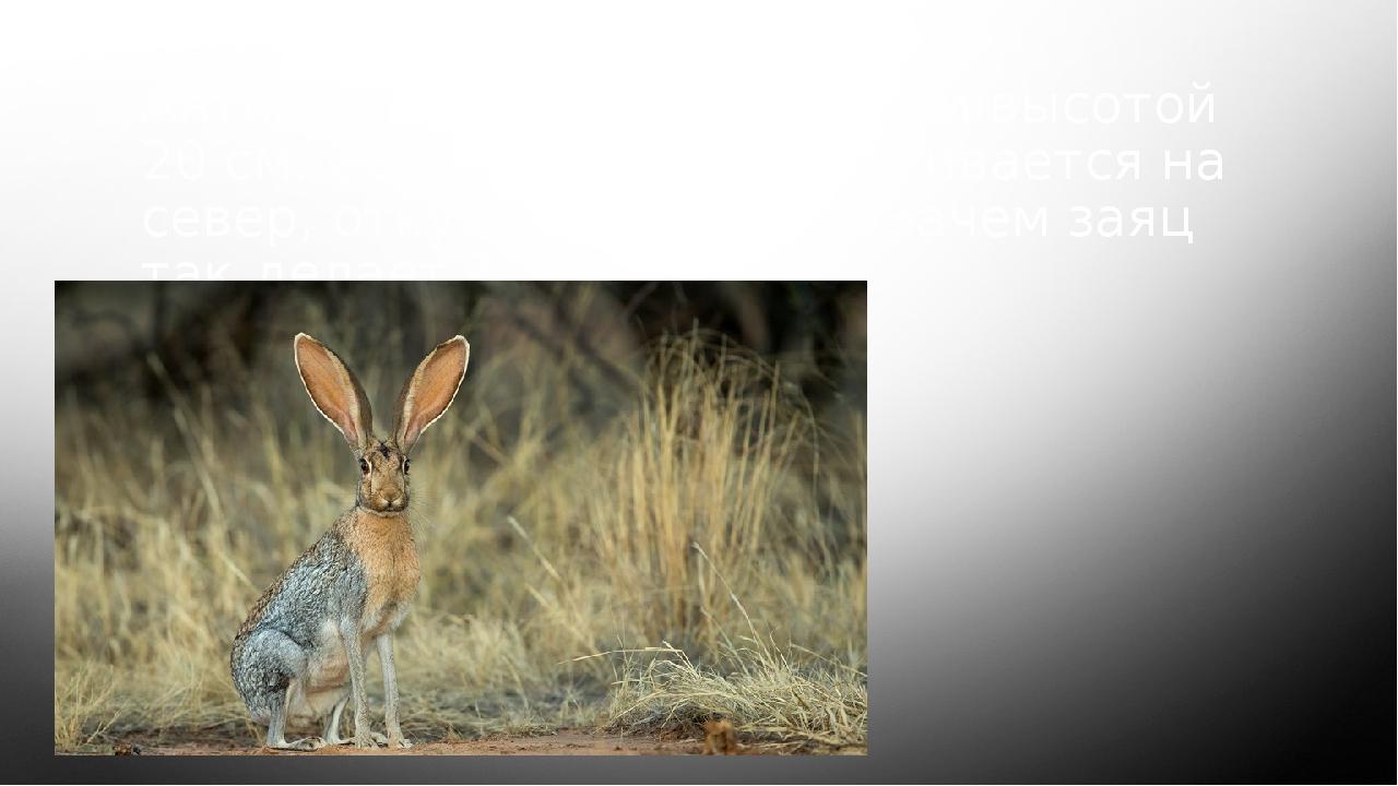 Антилоповый заяц имеет уши высотой 20 см. Обычно заяц поворачивается на север...