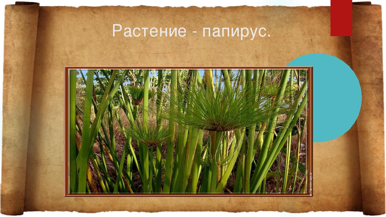 Растение - папирус.