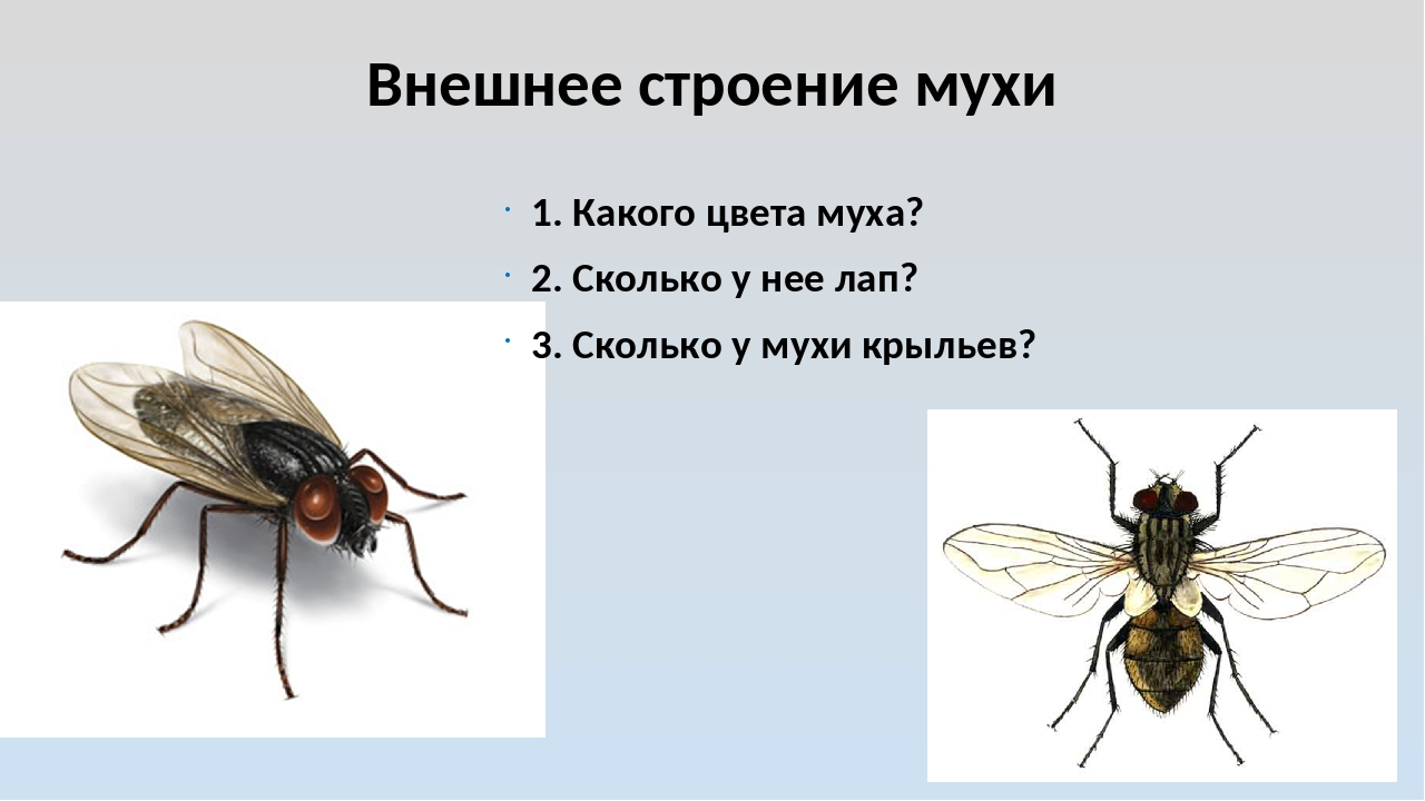 Внешнее строение мухи 1. Какого цвета муха? 2. Сколько у нее лап? 3. Сколько...