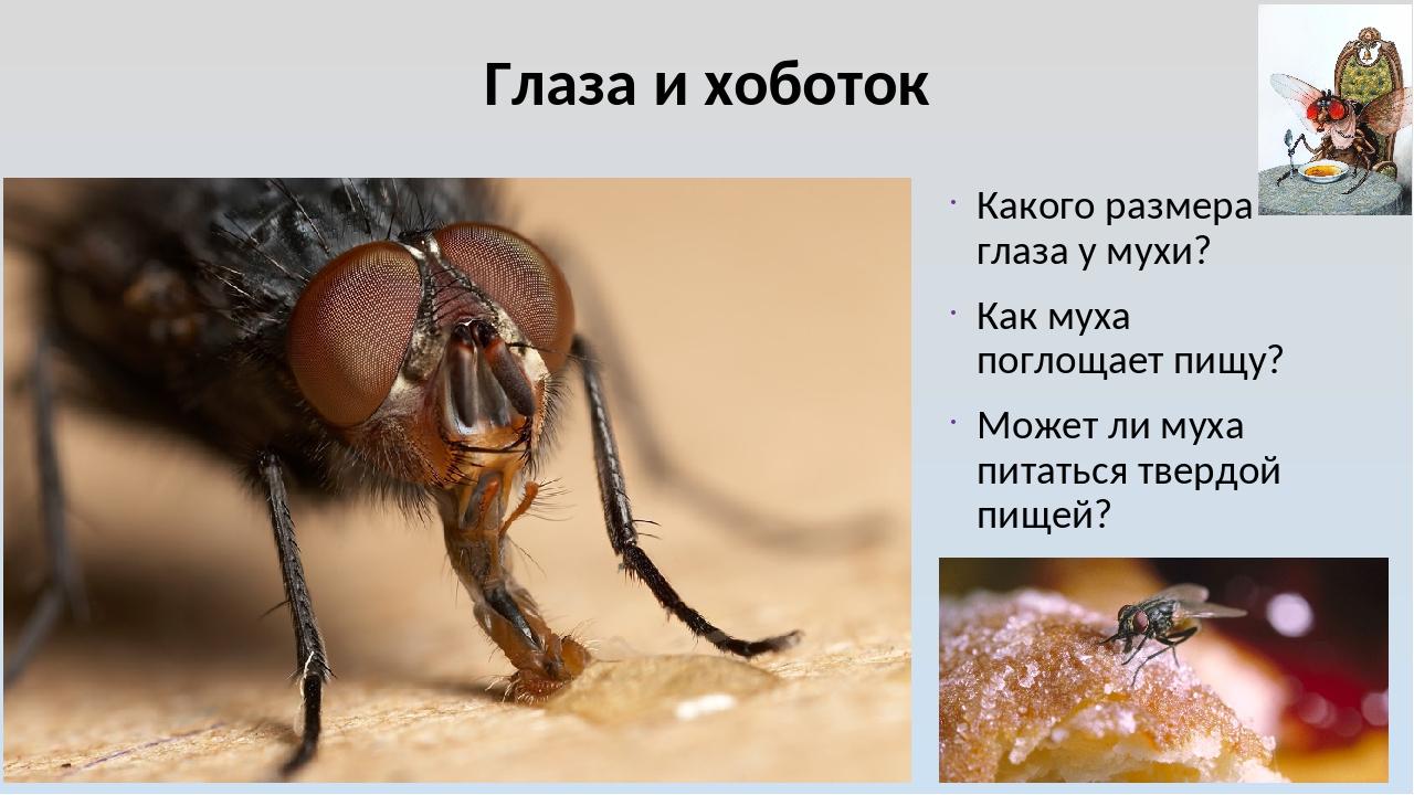 Глаза и хоботок Какого размера глаза у мухи? Как муха поглощает пищу? Может л...
