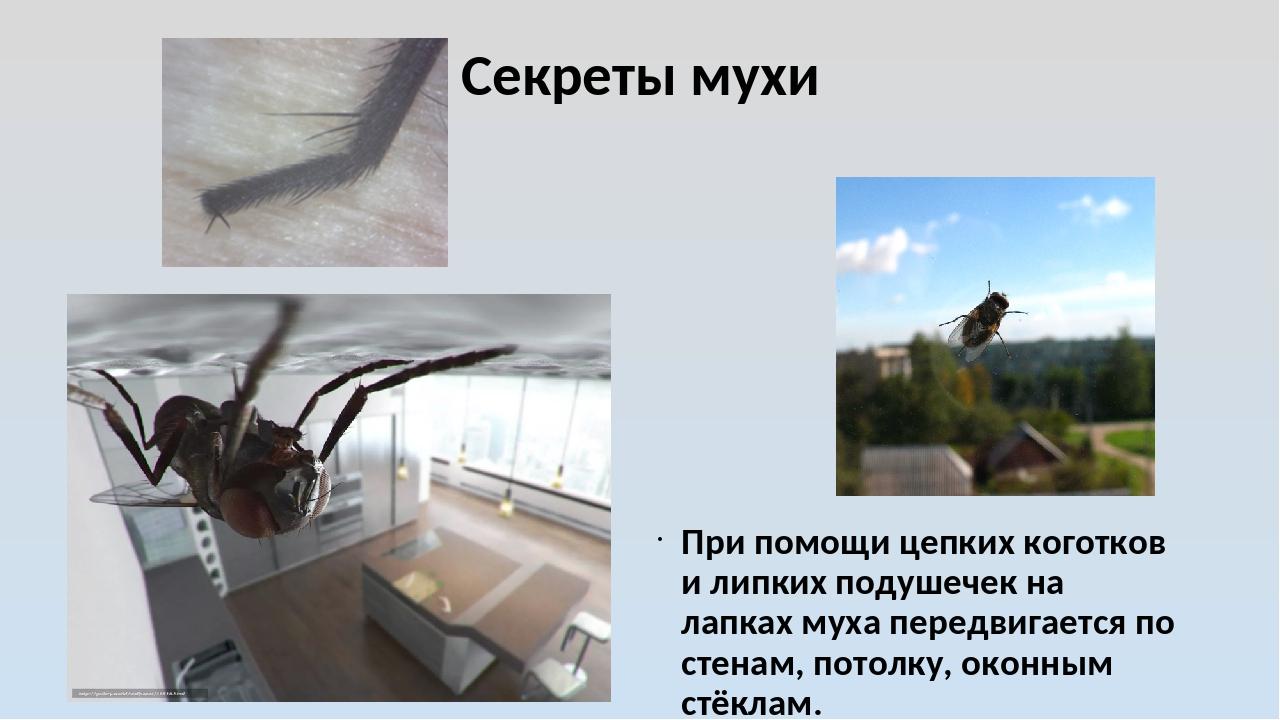 Секреты мухи При помощи цепких коготков и липких подушечек на лапках муха пер...