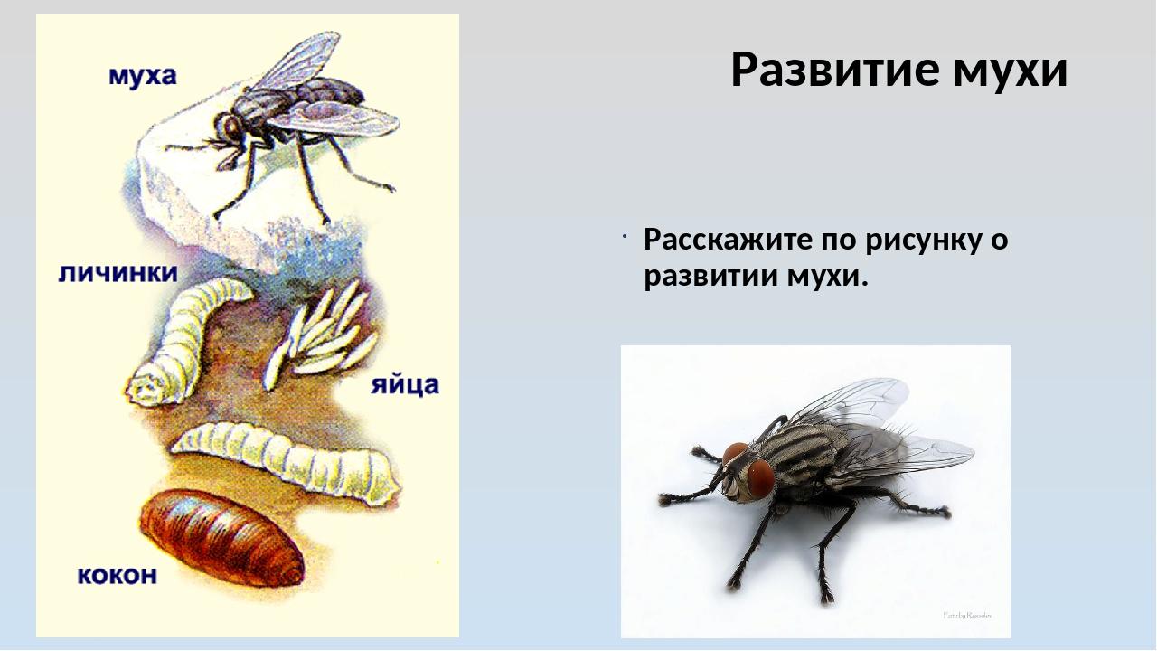 Развитие мухи Расскажите по рисунку о развитии мухи.