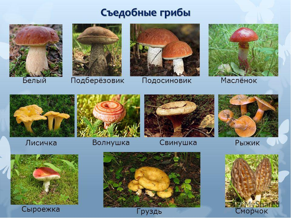 грибы с картинками фото грибов с названиями описание информация то, что для
