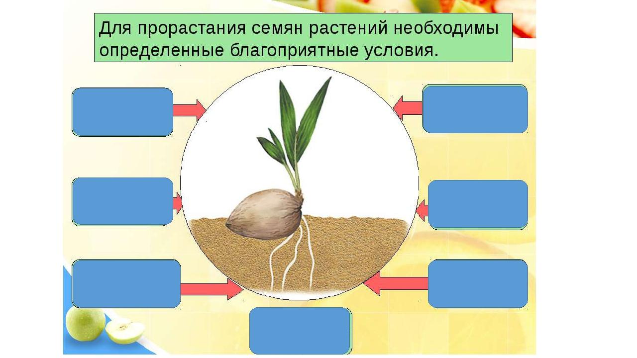 картинки на тему условия прорастания семян так
