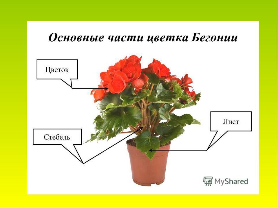 Картинки строения комнатных цветов для детей