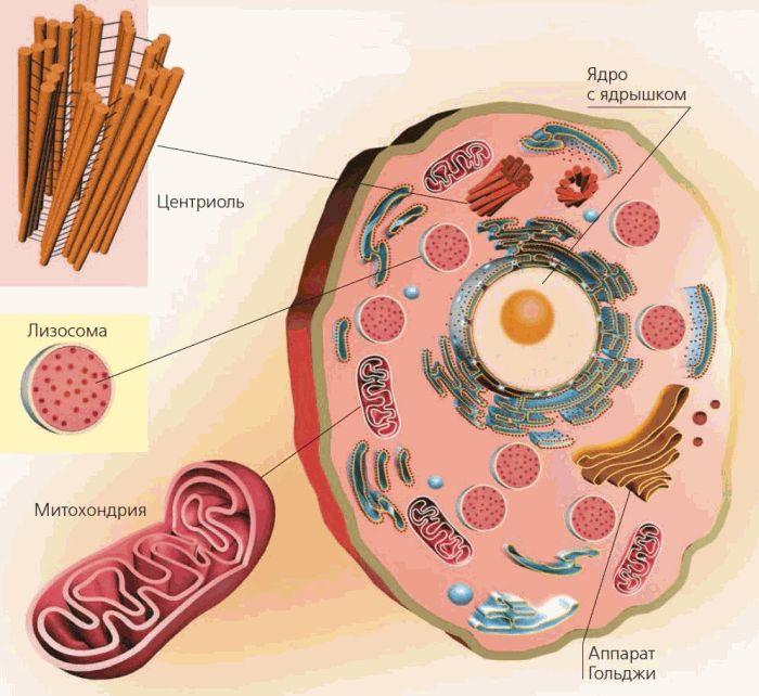 Картинка из учебника биологии клетка