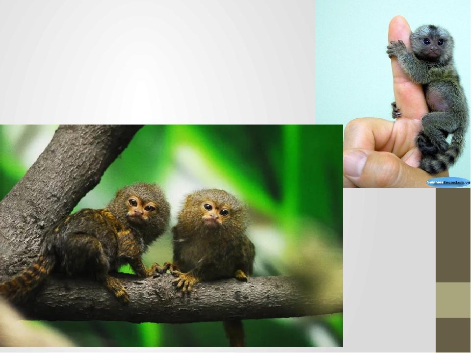 Игрунковая обезьянка