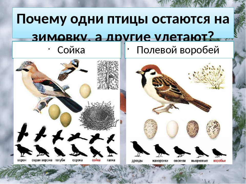 Птицы сойка в оценке натуралистов