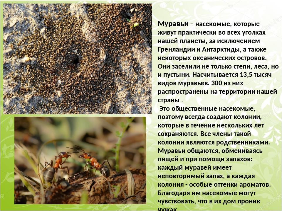 Муравьи – насекомые, которые живут практически во всех уголках нашей планеты,...