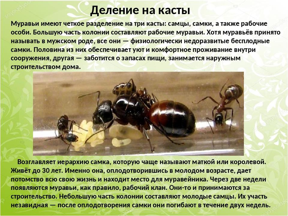 Муравьи имеют четкое разделение на три касты: самцы, самки, а также рабочие о...