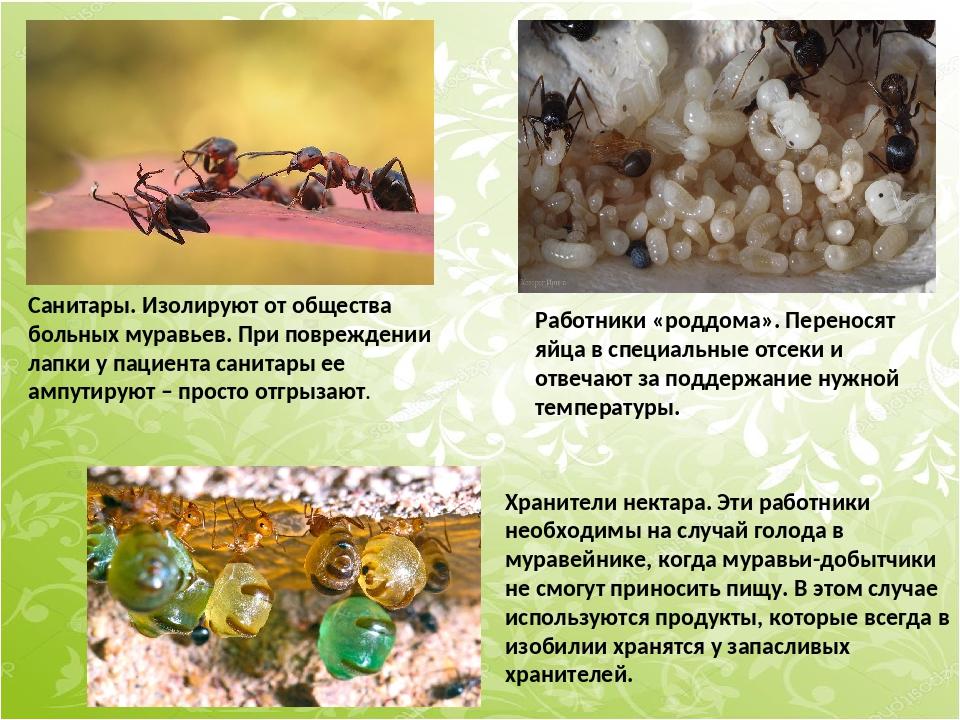 Санитары. Изолируют от общества больных муравьев. При повреждении лапки у пац...