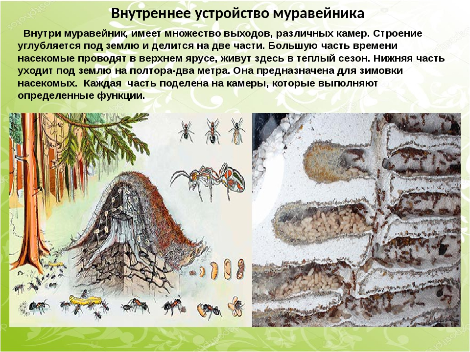 Внутреннее устройство муравейника Внутри муравейник, имеет множество выходов,...