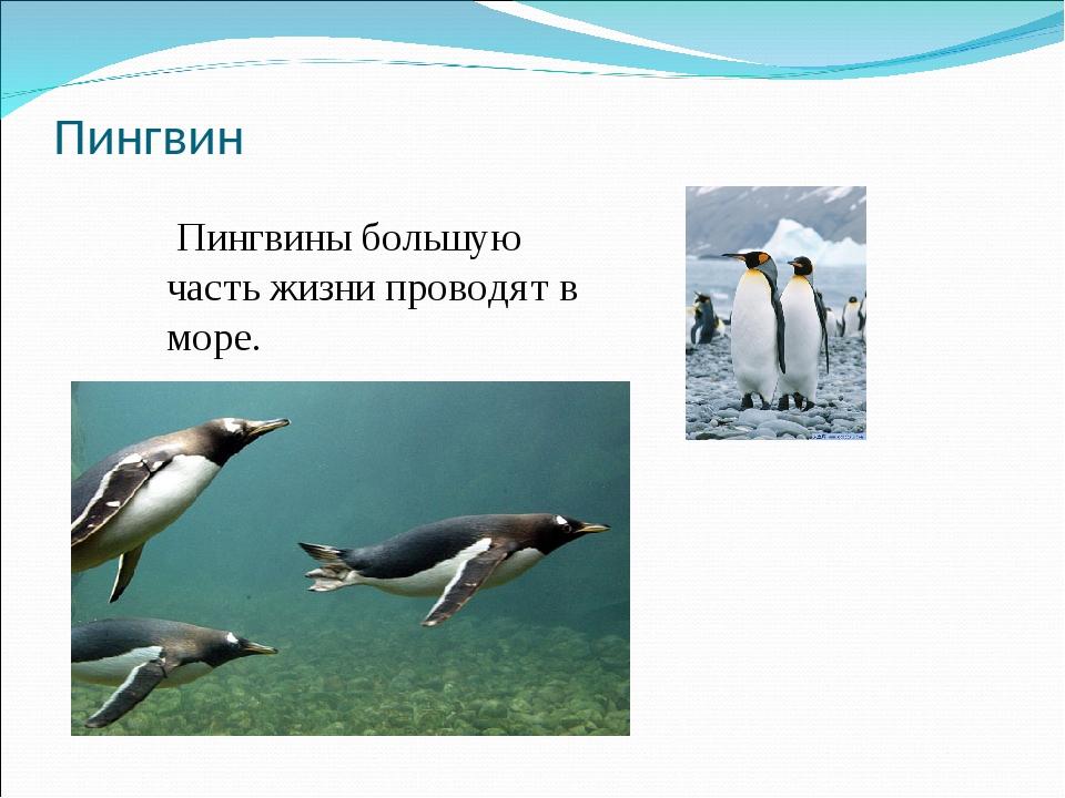 Пингвин Пингвины большую часть жизни проводят в море.