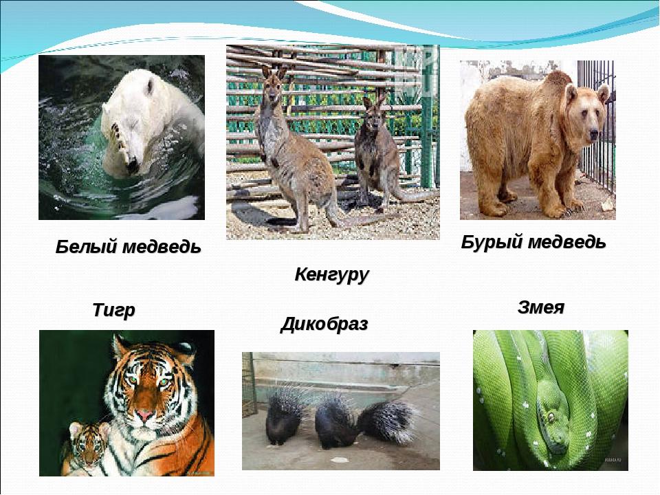 Белый медведь Бурый медведь Кенгуру Тигр Дикобраз Змея