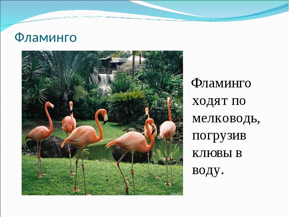 Фламинго Фламинго ходят по мелководь, погрузив клювы в воду.