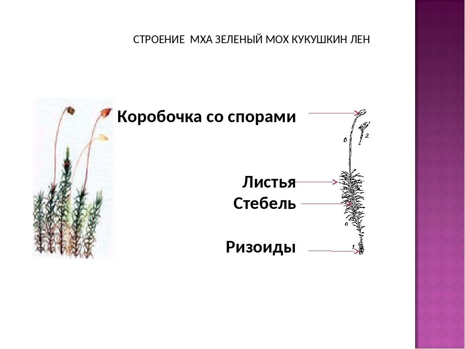 причина схема строения мха кукушкин лен лыкова воспитывалась