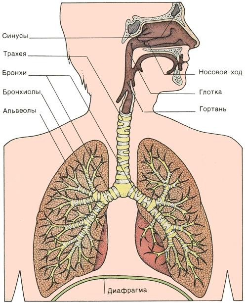 Картинки дыхательной системы у человека