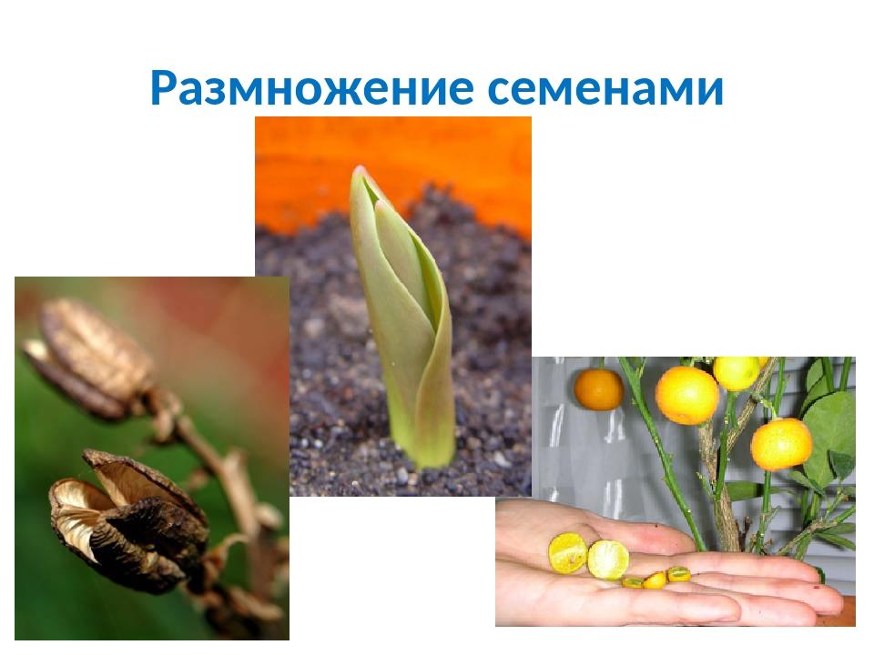 Картинки размножения семени