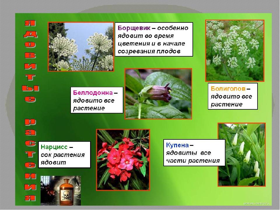 такие ядовитые растения фото с названиями и описанием руками создал старом