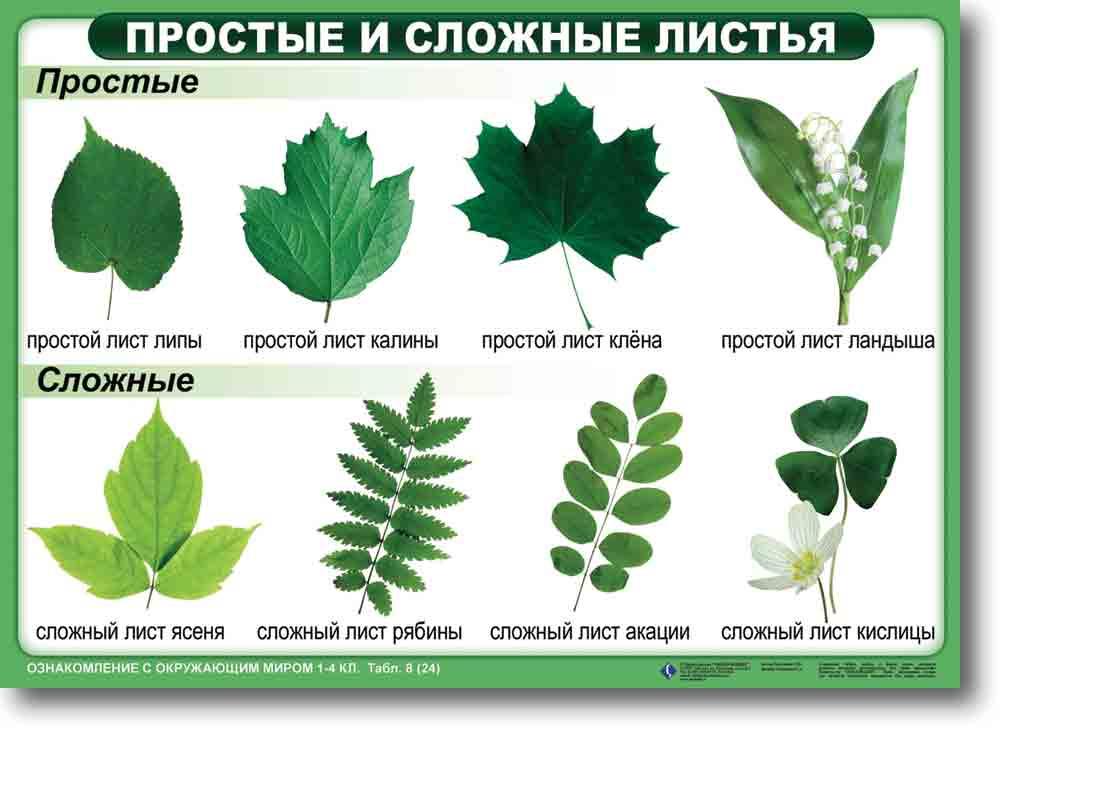 Цветок с простыми листьями