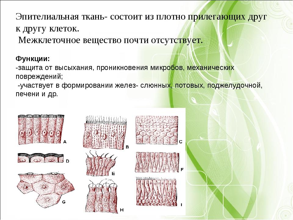 Эпителиальная ткань- состоит из плотно прилегающих друг к другу клеток. Межк...