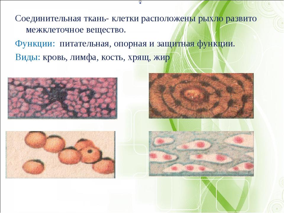 Соединительная ткань- клетки расположены рыхло развито межклеточное вещество....