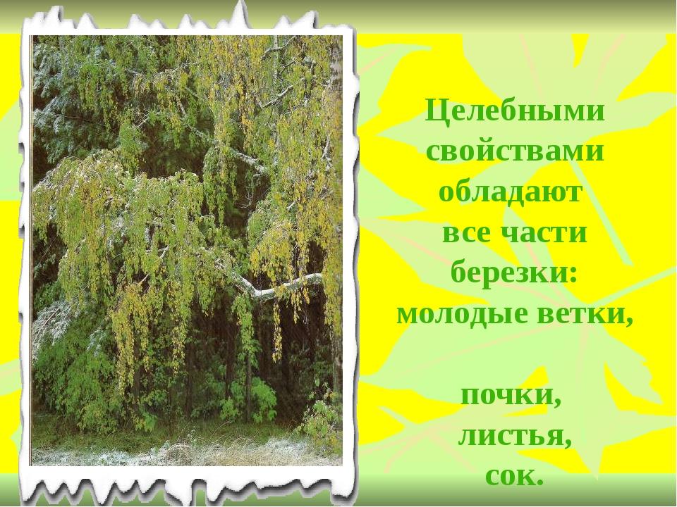 Целебными свойствами обладают все части березки: молодые ветки, почки, листья...